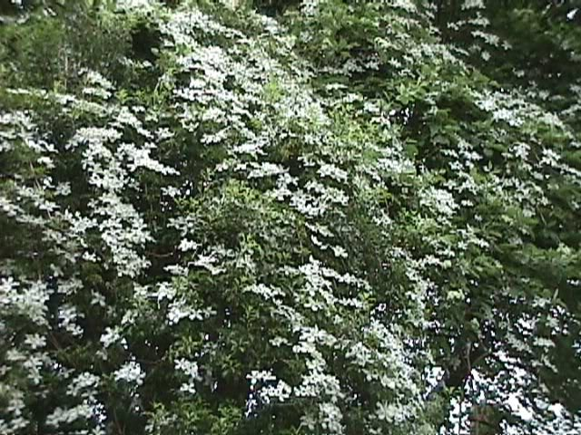clematis montana grandiflora the site gardener. Black Bedroom Furniture Sets. Home Design Ideas