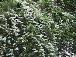 clematis montana grandiflora the site gardener. Black Bedroom Furniture Sets. Home Design Ideas