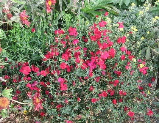 Dianthus deltoides Zing Rose - The Site Gardener