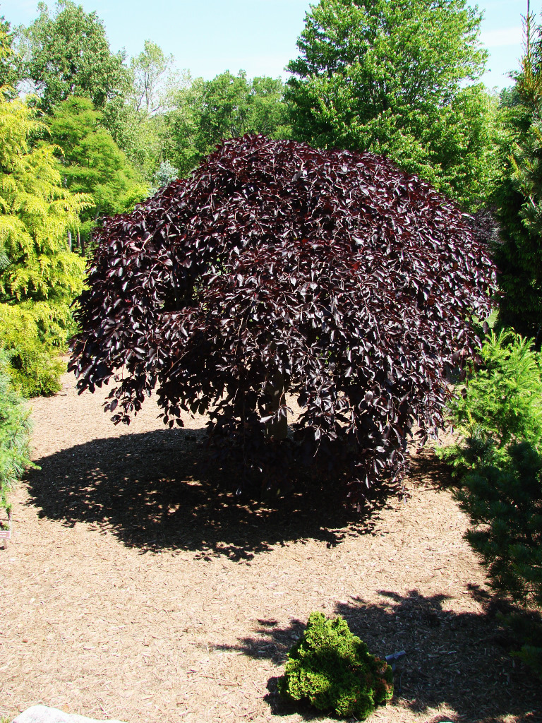 fagus sylvatica 39 purpurea pendula 39. Black Bedroom Furniture Sets. Home Design Ideas