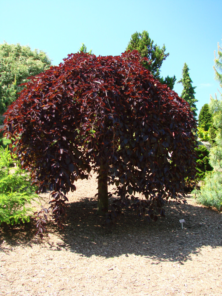 fagus sylvatica 39 purpurea pendula 39 hess landscape. Black Bedroom Furniture Sets. Home Design Ideas