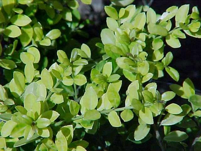 Ilex crenata Golden Gem - Hess Landscape Nursery - Finleyville ...