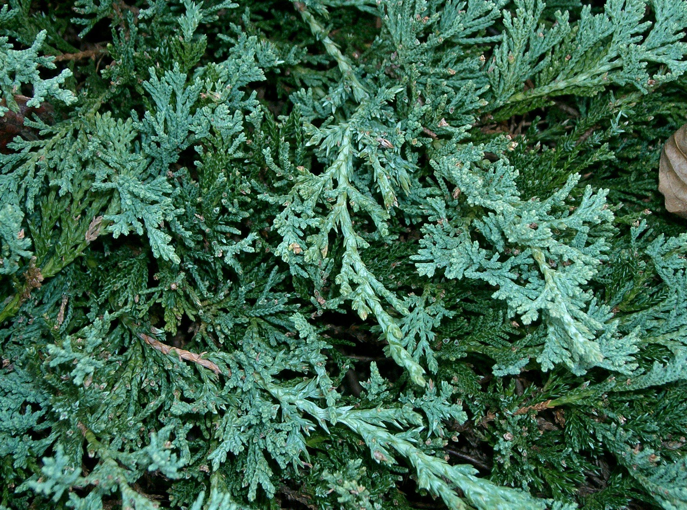 Picture of Live Blue Carpet Juniper aka Juniperus horiz. 'Wiltonii' Plant Fit 5 Gallon Pot