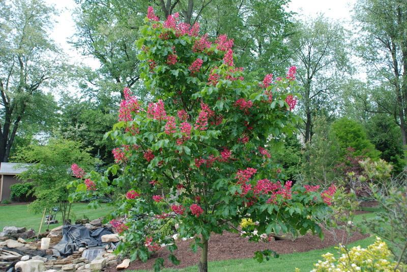 Aesculus Carnea Briotii The Site Gardener