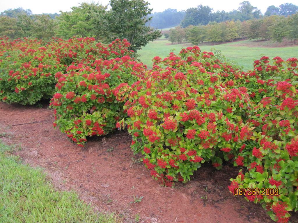 Viburnum Dilatatum Erie The Site Gardener