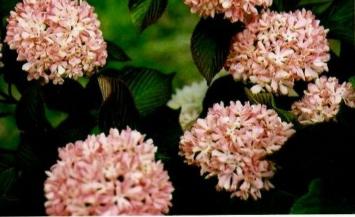 Viburnum plicatum kerns pink the site gardener go back to search page powered by the site gardener mightylinksfo