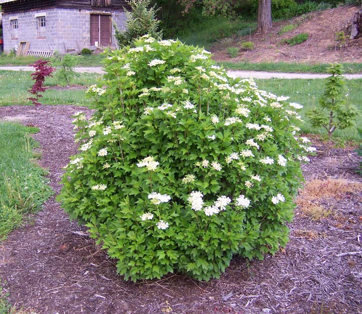 Viburnum Trilobum Bailey Compact The Site Gardener