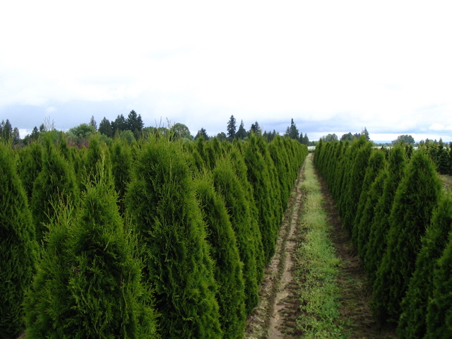 thuja occidentalis smaragd the site gardener. Black Bedroom Furniture Sets. Home Design Ideas