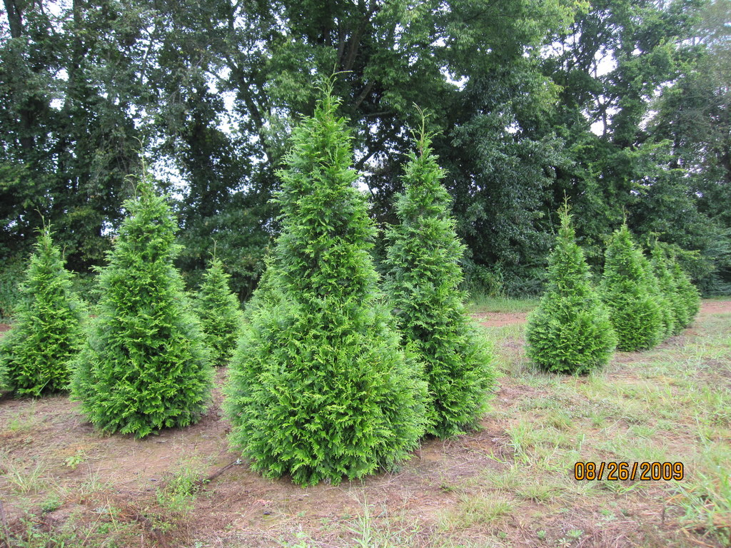 Thuja plicata 39 green giant 39 the site gardener Green giant arborvitae