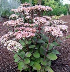 Sedum Matrona The Site Gardener