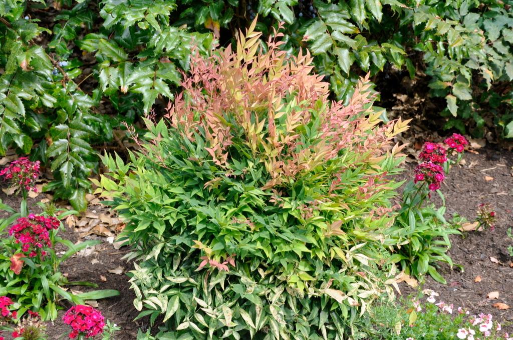 Nandina domestica 39 gulf stream 39 hess landscape nursery for Plante nandina
