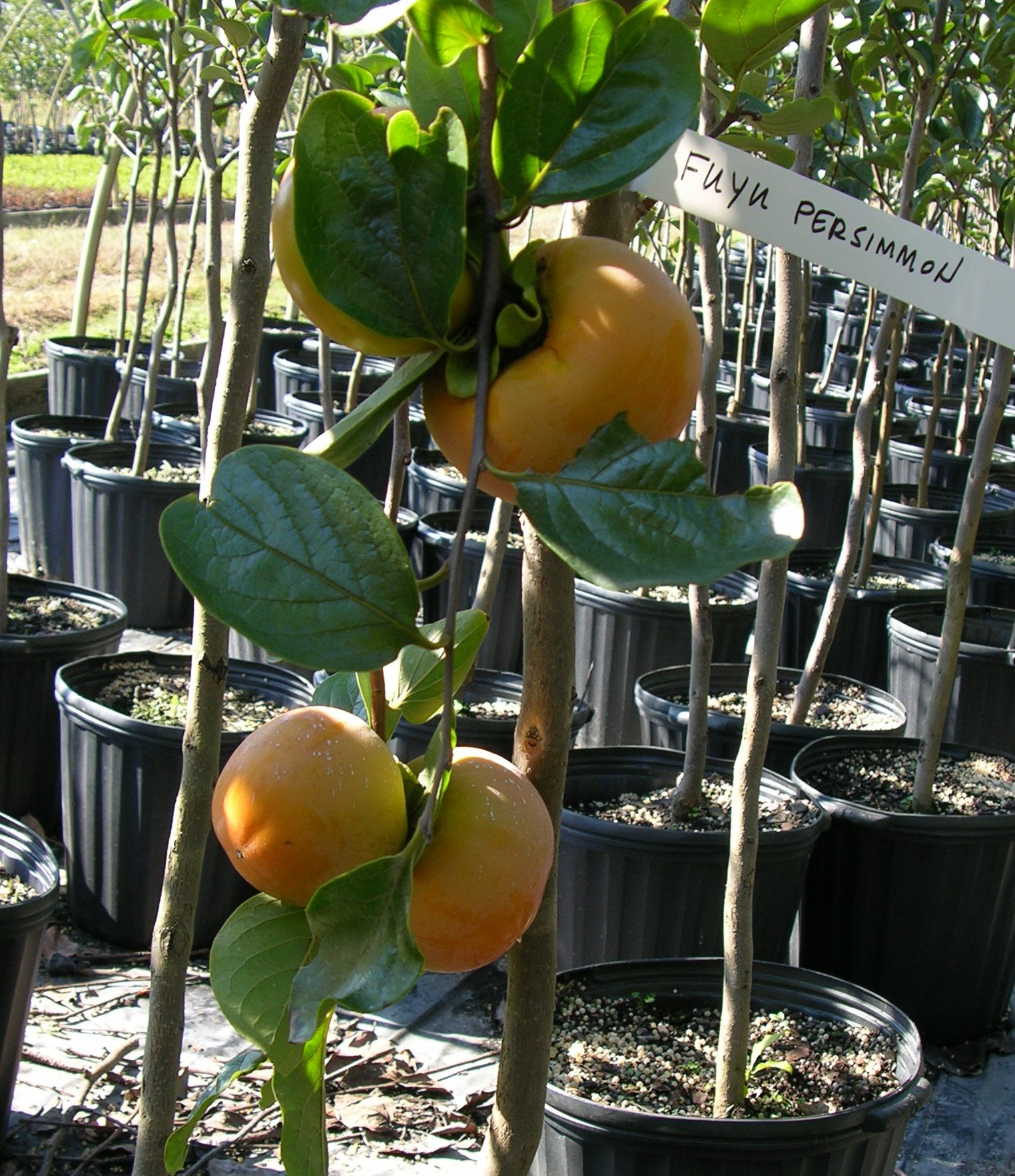 Persimmon Nikitas Gift - Hess Landscape Nursery - Finleyville ...