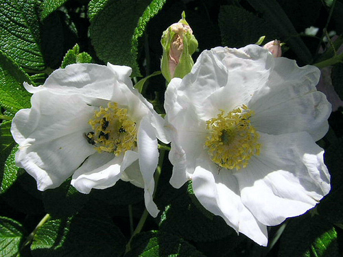rosa rugosa alba the site gardener. Black Bedroom Furniture Sets. Home Design Ideas