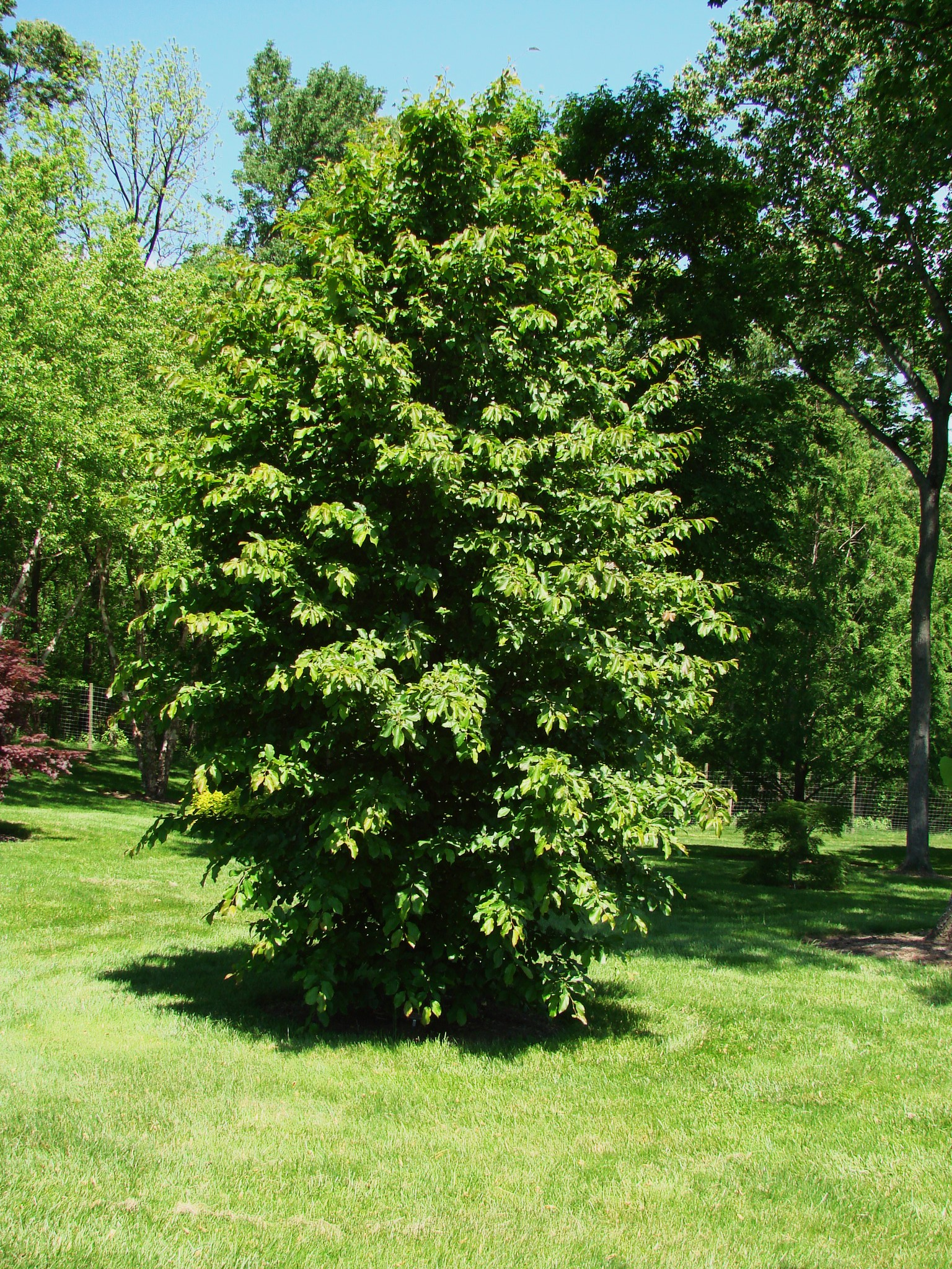 parrotia persica 39 vanessa 39 hess landscape nursery. Black Bedroom Furniture Sets. Home Design Ideas
