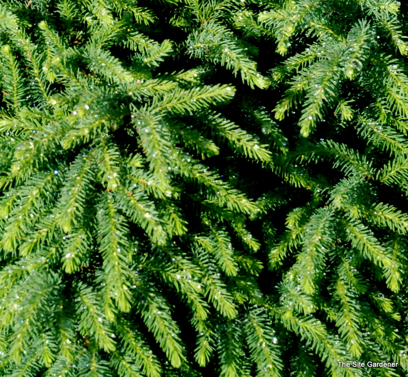 Picea Abies Nidiformis The Site Gardener