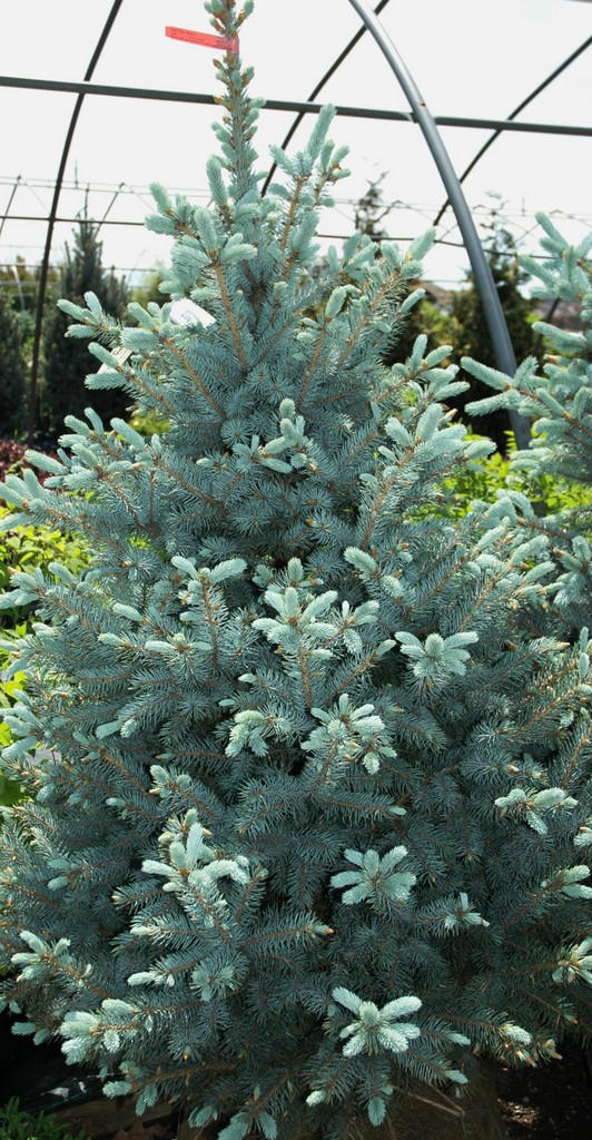 Picea Pungens Baby Blue Eyes The Site Gardener