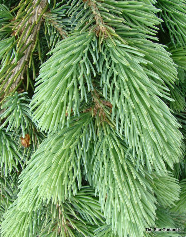 Picea glauca 'Pendula' - The Site Gardener