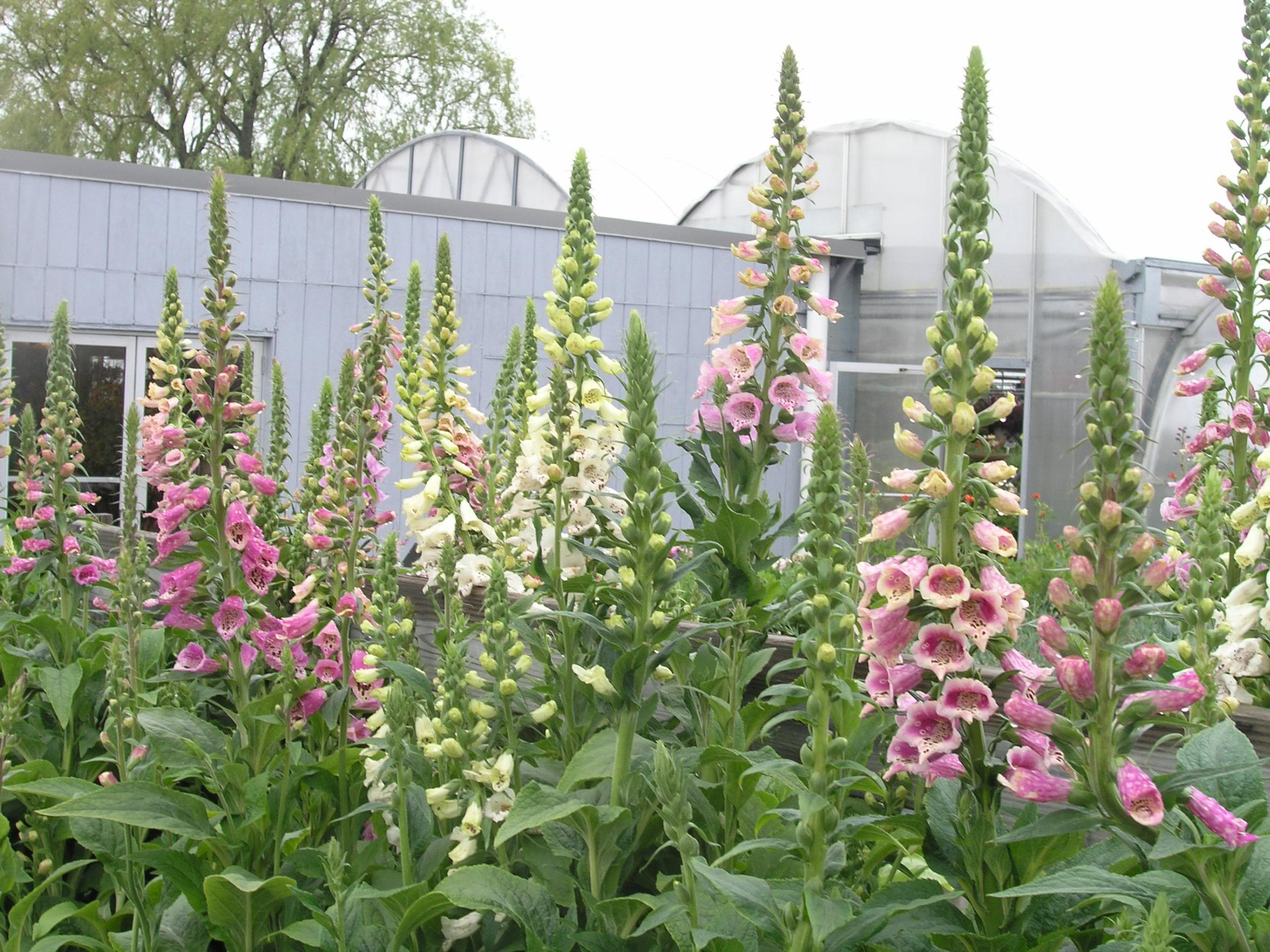 Digitalis Purpurea Excelsior The Site Gardener