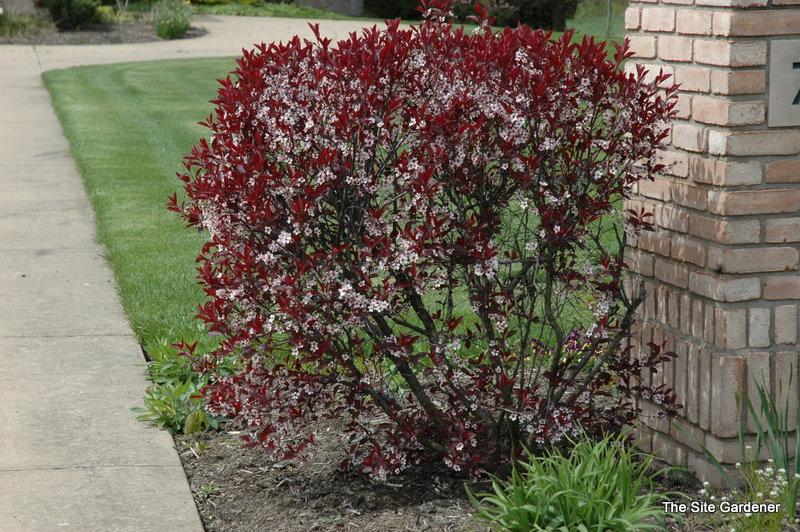 Prunus Cistena - The S...