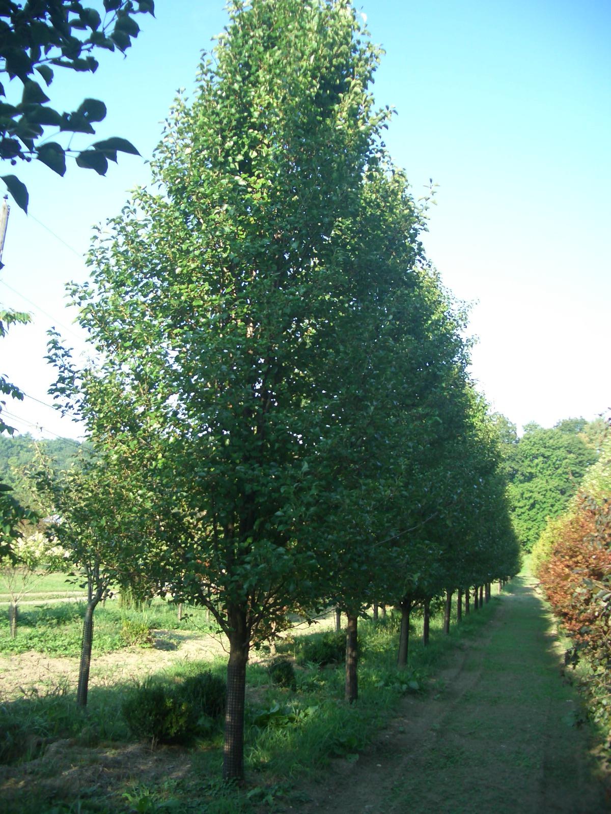 Pyrus calleryana Cleveland Select Hess Landscape Nursery Finley
