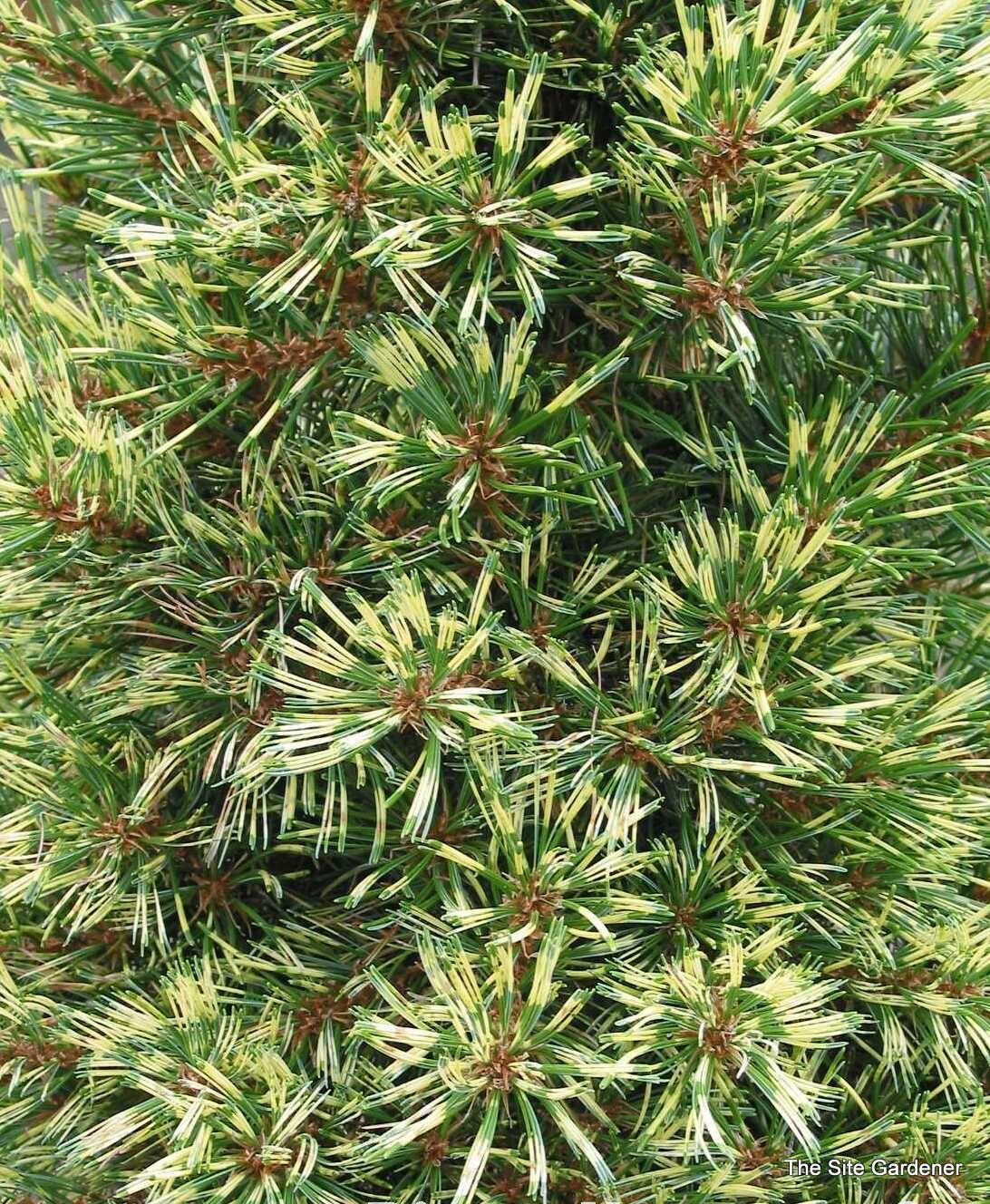 Pinus Parviflora Ogon Janome The Site Gardener