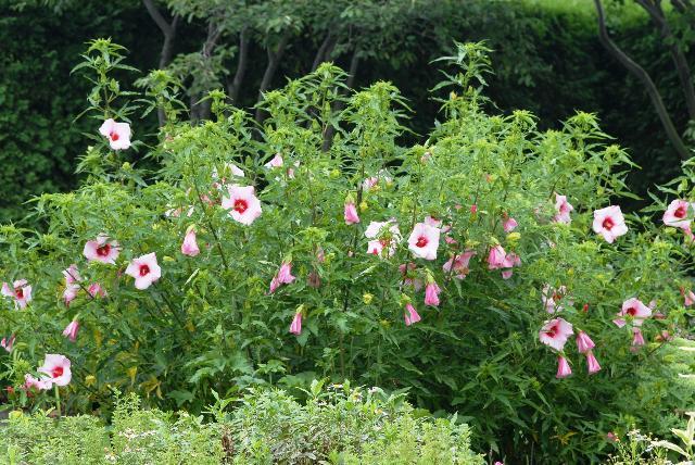 Hibiscus Lady Baltimore The Site Gardener