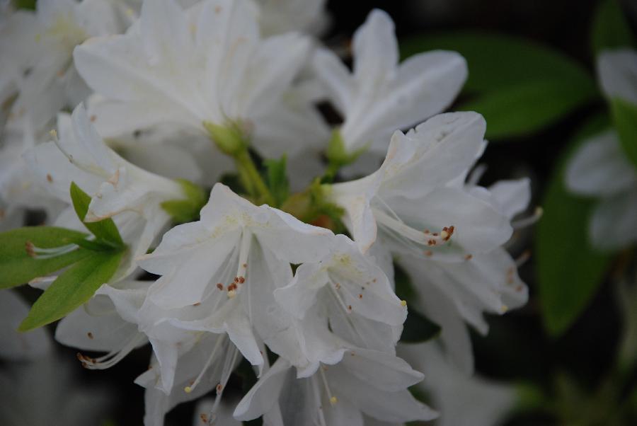 Rhododendron 'White Cascade'