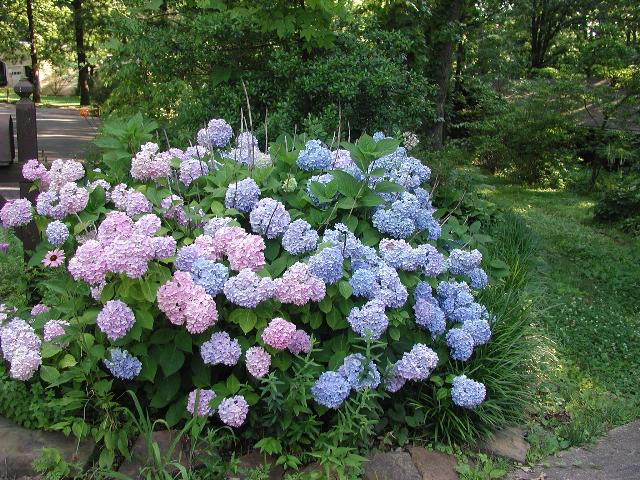 Hydrangea Macrophylla Nikko Blue The Site Gardener