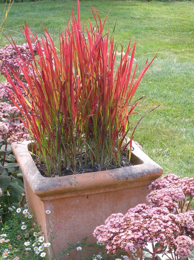 imperata cylindrica 39 red baron 39 the site gardener. Black Bedroom Furniture Sets. Home Design Ideas