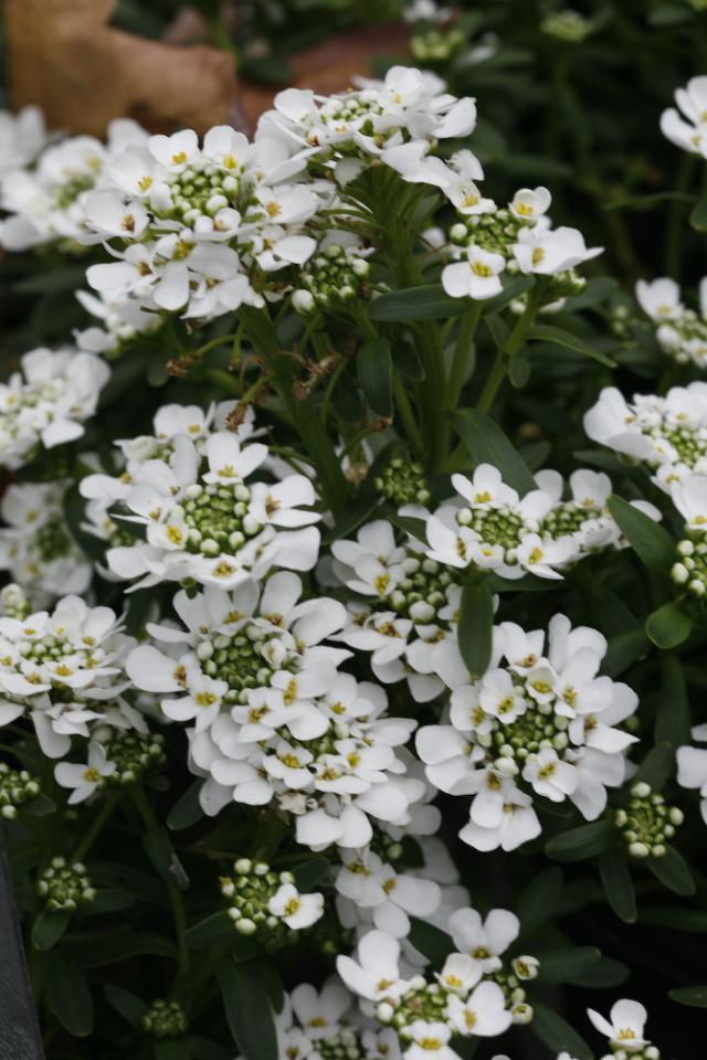Image Result For Perennial Green Plants For Full Sun