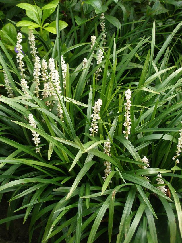 Liriope muscari monroe white hess landscape nursery liriope muscari monroe white mightylinksfo