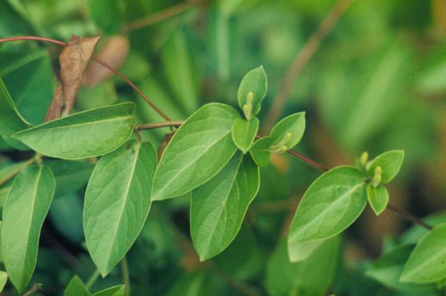 Lonicera japonica Halliana - The Site Gardener Lonicera Japonica Leaf
