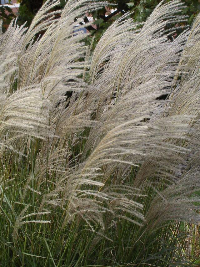 miscanthus sinensis 39 graziella 39 the site gardener. Black Bedroom Furniture Sets. Home Design Ideas