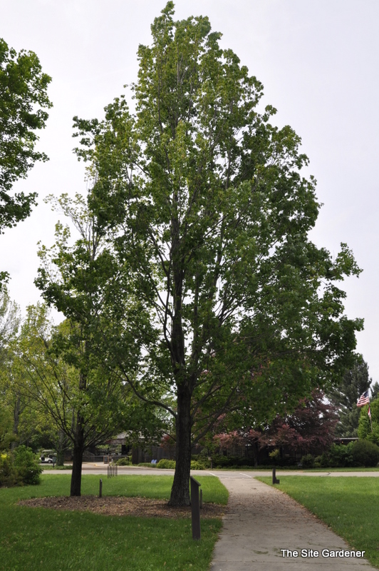 Acer freemanii 'Armstrong' - The Site Gardener