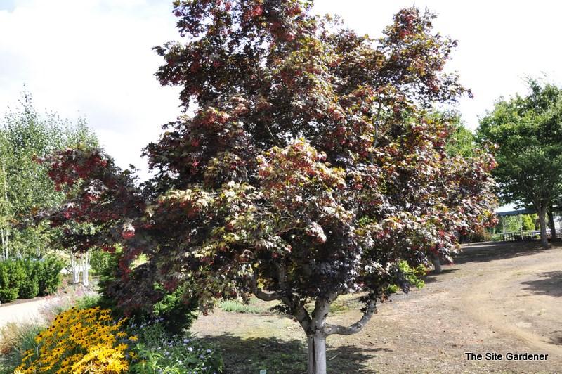 acer palmatum bloodgood hess landscape nursery