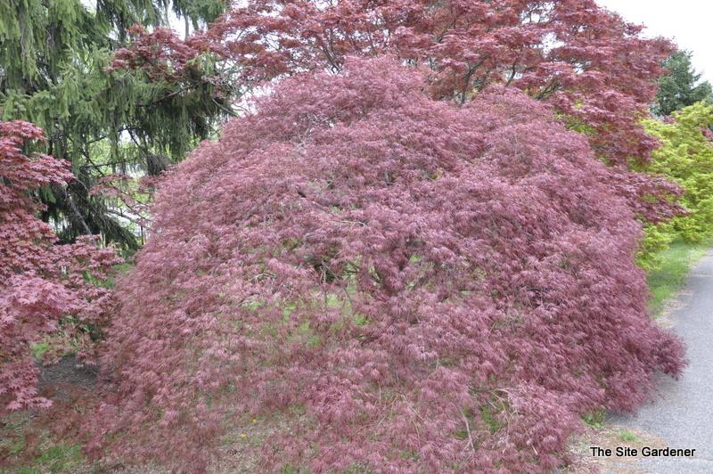 Acer Palmatum Dissectum Tamukeyama Hess Landscape Nursery