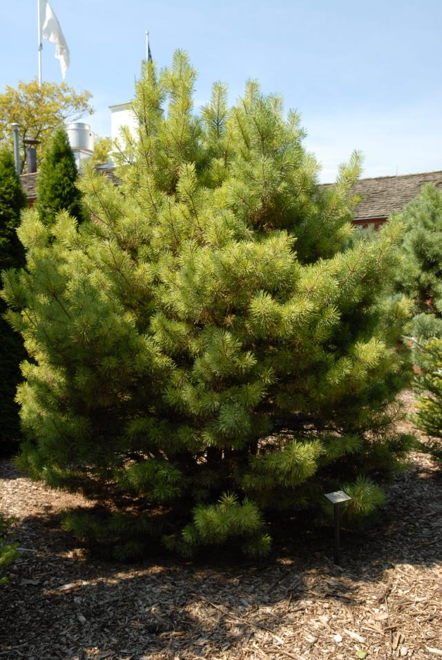 pinus sylvestris 39 watereri 39 hess landscape nursery finleyville pennsylvania. Black Bedroom Furniture Sets. Home Design Ideas