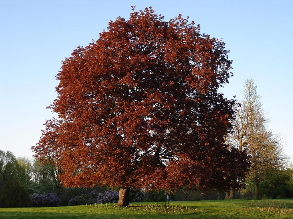 Acer platanoides 39 schwedleri 39 the site gardener - Arce platanoide ...