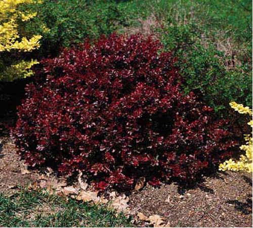 Barberry : Berberis thunbergii f. atropurpurea Crimson Pygmy - Hess Landscape ...
