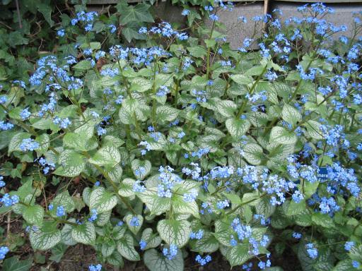 brunnera macrophylla jack frost the site gardener. Black Bedroom Furniture Sets. Home Design Ideas