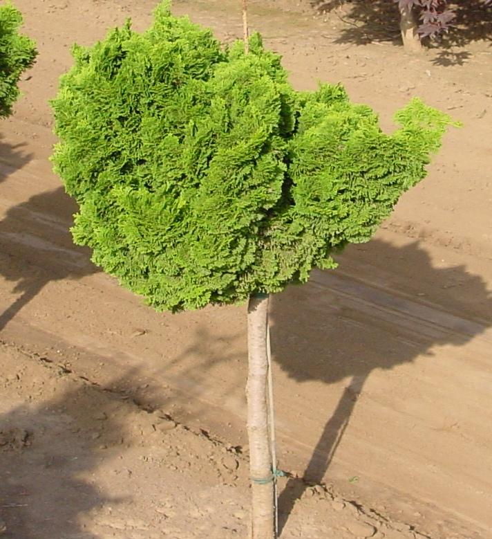 chamaecyparis obtusa 39 nana gracilis 39 the site gardener. Black Bedroom Furniture Sets. Home Design Ideas