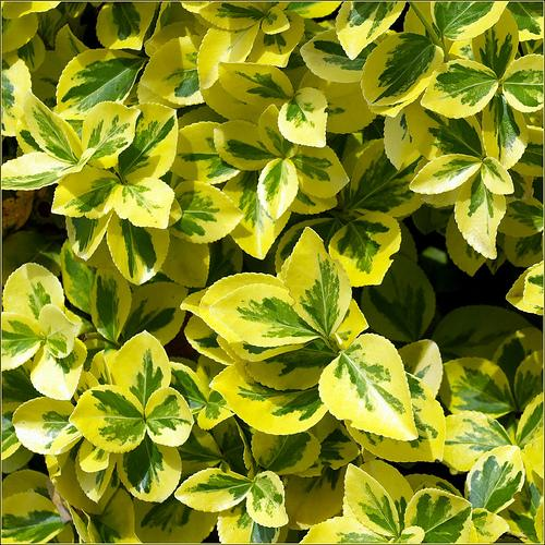 euonymus fortunei 39 emerald n gold 39 the site gardener. Black Bedroom Furniture Sets. Home Design Ideas